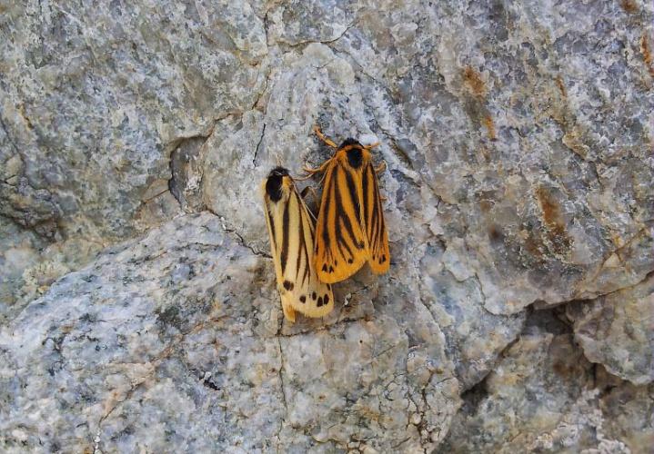 Ecaille alpine (L'), Endrosie crépitante (L') © Frédéric Goulet - Parc national des Ecrins