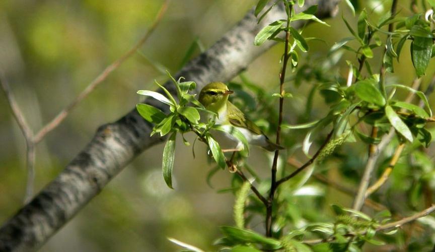 Pouillot siffleur © Damien Combrisson - Parc national des Ecrins