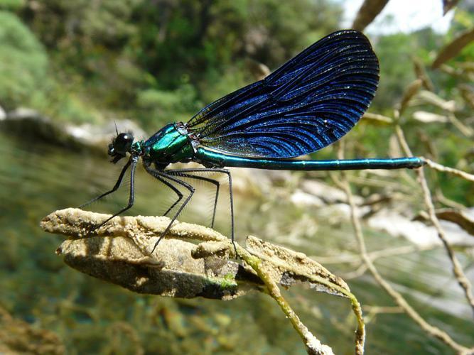 Caloptéryx vierge - Mâle © Marion Digier - Parc national des Ecrins