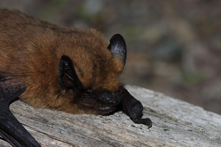 Pipistrelle commune © Marc Corail - Parc national des Ecrins